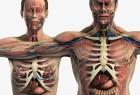 3DSMAX / MAYA男性女性人体解剖系统器官3D模型素材包