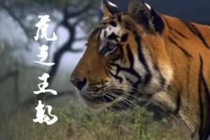 纪录片:虎之王朝(高清版)