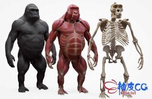 ZBrush大猩猩肌肉骨骼组织3D扫描解剖高精度3D模型