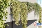 3DSMAX / VRay / Corona葡萄藤藤蔓爬山虎植物精细3D模型
